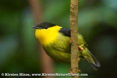 aranyvörös Golden-collared Manakin  Testhossza 10 centiméter. A hím feje feteje fekete, nyaka és hasi tollazata aranysárga. A tojó barnás.  Gyümölcsökkel és rovarokkal táplálkozik. Ágvillába készíti csésze alakú fészkét.  Panama, Costa Rica és Kolumbia területén honos. Esőerdők és irtáserdők lakója.pipra (Manacus vitellinus)
