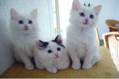 turkish van kittens - Google Search