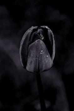 black | schwarz | noir | nero | negro | μαύρος | черный | काला | ブラック | 黑 | nature | flower | flowers | tree | trees | -----> Like to relax not only visually? Try ASMR ... and visit ... https://www.youtube.com/channel/UCBNHxodKKw1TnoGJogFApTA/videos