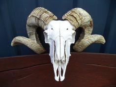 MERINO-RAM-SKULL-SHEEP-HORNS-HEAD-ANTLERS-TAXIDERMY-HUNTING-DEER-GOAT-ANIMAL-ART