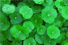 Gotu kola (centella asiatica) is probably the most important anti-cellulite and skin healing and firming natural active Healing Herbs, Medicinal Herbs, Wound Healing, Holistic Healing, Benefits Of Organic Food, Health Benefits, Ayurvedic Medicine, Herbal Medicine, Gotu Kola Benefits