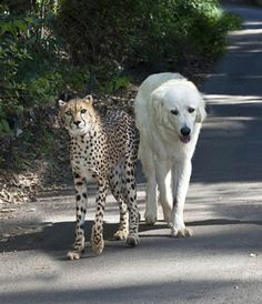 Anatolian Shepherd dogs keep Cheetahs away from livestock in Africa, but at the San Diego Zoo, the former foes are paired because the calm dog makes a good friend to the nervous cat. Love is love :)