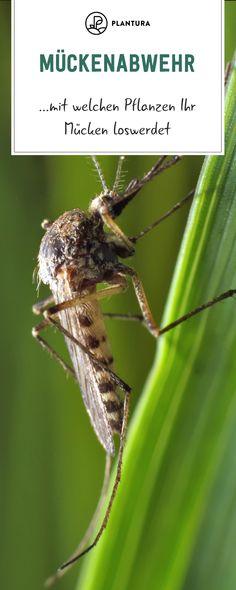 Die 9 Besten Bilder Von Pflanzen Gegen Mücken In 2019
