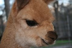 This Alpaca will find you and then kill you.