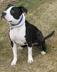 ARTIE is an adoptable Pit Bull Terrier Dog in Hailey, ID. Neutered Male,Pit Bull Terrier,Estimated DOB 3/12--Artie was a frequent visitor to the Shelter as his owner would allow him to wander loose an...
