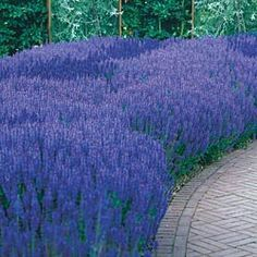 "Blue Queen Salvia - Heat- and drought-resistant hybrid explodes with plump spikes in midsummer. Flowers have long staying power well into fall. It is an excellent choice for cut-flower arrangements, and can be dried as well. Salvia is easy to care for with a good resistance to pests and disease. Grows 15-18"" tall, 12-18"" wide."