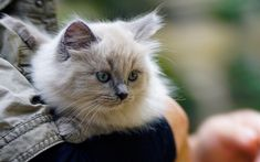 Download wallpapers small gray kitten, gray eyes, cat on hands, cute animals, domestic cats