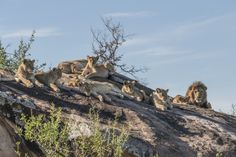 Lions, Serengeti (northern), Tanzania