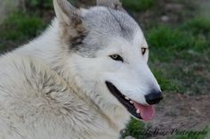 Tala, the lower mid content wolf dog and Saint Francis Wolf Sanctuary ambassador, lives with Meeko, our young ambassador-in-training; they spend lots of time racing and playing with each other.