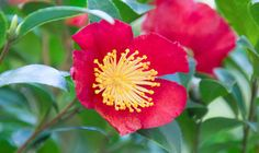 Article: Why not grow some camellias this winter? Camellia bushes can play a starring role in your garden over winter and spring, as well as providing a useful backdrop in summer and autumn. Here's some suggestions