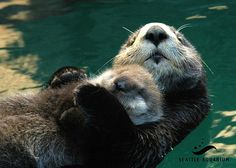 Sea otter mother holds her napping pup on her belly - June 12, 2015