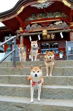 """Yes, these are Shiba Inus, hopefully the person who pinned this discovers Hatchi was an Akita, the most majestic of the Japanese breeds and the most aloof. """"Japanese Shiba Inus, my favorite breed of dog since reading and watching the story of Hachiko. Chien Shiba Inu, Cute Puppies, Dogs And Puppies, Pet Dogs, Dog Cat, Doggies, Animals And Pets, Cute Animals, Funny Animals"""