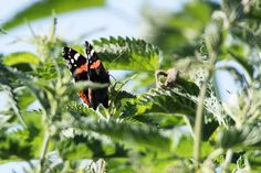 #wildlifephotography #luxembourg #igerslux #wanderlust #wildlife #nature #naturelovers #naturephotography #outdoors #outsideisfree #ic_nature #ignature #ignaturefinest #ig_captures_nature #instanaturelover #allnatureshots #haffreimech #remerschen #biodiversum #baggerweier #birding #birdwatching #ornithology #eye_spy_birds #dezpx_birding #wearetheluckyones #dezpx #butterfly (hier: Haff Reimech)