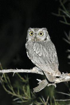 Western Screech Owl (Megascops kennicottii). Photo by Rick & Nora Bowers.