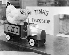 This chicken drives its own truck like a boss. | 21 Chickens Just Doin' Chicken Stuff
