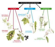 Seed dispersal flow chart