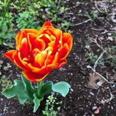 花びらがたくさんあるチューリップ
