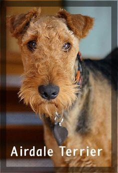 AKC Terriers- The Airdale is a recommended family breed for people who have had dogs previously.