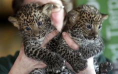 adorable baby leopards