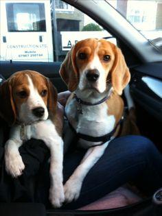Beagle girls share shotgun!