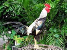 Ayam Juara: Cara Merawat Ayam Bangkok Aduan Untuk Persiapan Ad...
