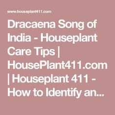 Dracaena Song of India - Houseplant Care Tips | HousePlant411.com | Houseplant 411 - How to Identify and Care for Houseplants