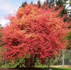 """""""Acer palmatum Beni Maiko"""" - Le feuillage est rouge vif au printemps, passant ensuite au vert plus classique en été pour terminer par des couleurs flamboyantes, jaune orange à l'automne. Les feuilles sont petites, palmées aux bords dentés."""