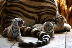 Little tiger cub needs his mommy for some yummy grub