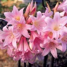 Belladonna Lily, Pink