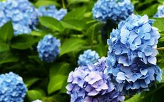 Download wallpapers Hydrangea, blue flowers, plants, blue Hortensia