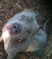 Sabre is an adoptable Pit Bull Terrier Dog in Detroit, MI. Detroit Bully Crew INC. . Meet Saber Detroit Bully Crew's Dog of the Day!!! :) Saber came to us as an owner surrender, from his owner losing ...