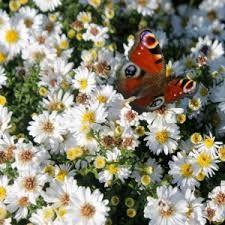 Risultati immagini per fiori settembrina