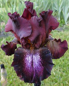 Comanche Acres Iris Gardens - Gower, MO - Black N Decker-Tall Bearded Iris Rare Flowers, Iris Flowers, Types Of Flowers, Exotic Flowers, Amazing Flowers, Purple Flowers, Planting Flowers, Beautiful Flowers, Bearded Iris