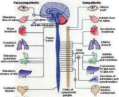 Parasympathetic versus sympathetic nervous system.