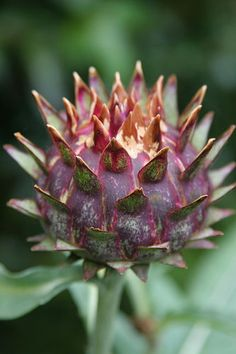 Artichoke Thistle, Cardoon (Cynara cardunculus) A thistle like plant in the sunflower family it is native to the western & central Mediterranean region.