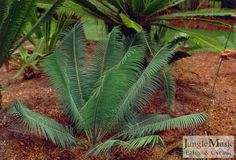 Encephalartos inopinus.  This is a very rare South African cycad.  It has sicle shaped leaflets and can vary in color from green to blue.  They are an attractive smaller cycad that will do well in most tropical to temperate climates.