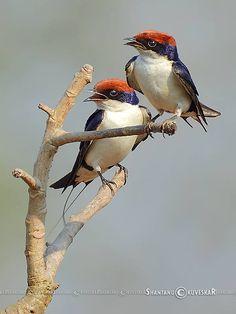 Pair of Wire-tailed Swallow (Hirundo smithii)