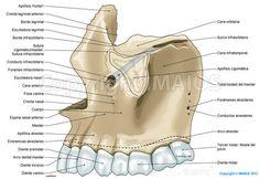 Maxilar-Cráneo: Conducto infraorbitario, Foramen infraorbitario, Espina nasal anterior, Tuberosidad del maxilar, Apófisis cigomátlca,