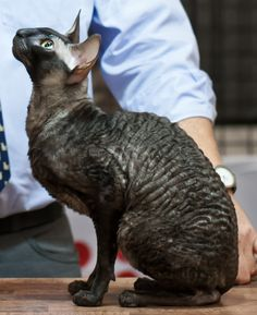 Changes Ziggy Stardust, Cornish Rex. © Heikki Siltala