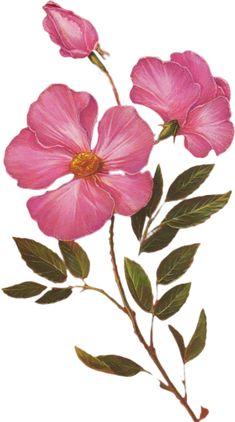 Antique french victorian botanical print azalea pink flowers illustration digital download ...