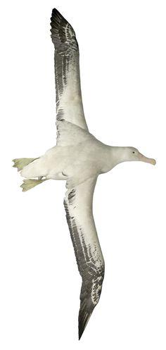 Diomedea exulans Linnaeus, 1758, wandering albatross.