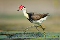 realmonstrosities:  fairy-wren:  Comb Crested Jacana. Photo by Ofer Levy  Chicken Reaper