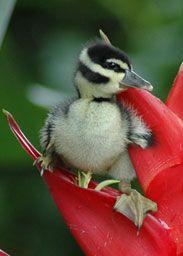 Duck in flower