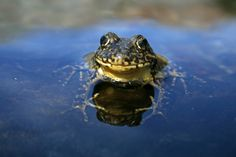 The Sierra Nevada yellow-legged frog was once one of the most common amphibians in those mountains. Today, the frog is a rare sight. But scientists now say they're starting to return.