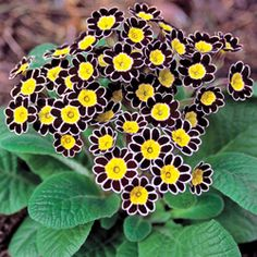 Clustered fireworks of color in shapely mounds make primrose (primula) a delight. with tons of brightly colored blooms that burst forth all summer long, your shade garden will be boring no more. Diy Garden, Shade Garden, Dream Garden, Garden Plants, Garden Cottage, Potted Plants, My Flower, Flower Power, Beautiful Flowers