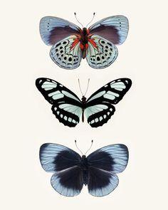 Fine art butterfly photography print of a three blue butterflies, by Allison Trentelman.