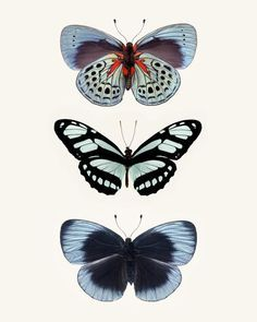 Fine art butterfly photography print of a three blue butterflies, by Allison Trentelman.