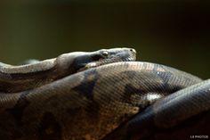 Boa constrictor constrictor - A jiboia pode ser encontrada em diversos biomas brasileiros, como a Mata Atlântica, a Floresta Amazônica, a caatinga, o cerrado e mangues. A segunda maior cobra do país, perdendo apenas para a sucuri-verde. É encontrada do México até a Argentina. Um indivíduo adulto pode atingir até quatro metros de comprimento.