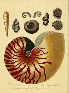 Colored Copper Plate Engraving; Nautilus and other seashells, 1810