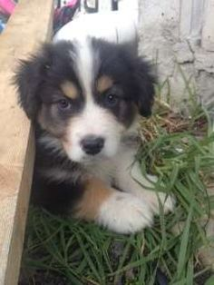 For sale pascoe vale victoria australian shepherd dogs for sale in